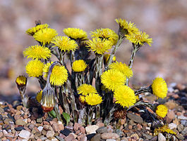 265px-Coltsfoot
