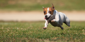 Energetic Jack Russell Terrier Dog Runs on the Grass Field.