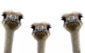 Animals_Birds_Three_ostriches_036826_